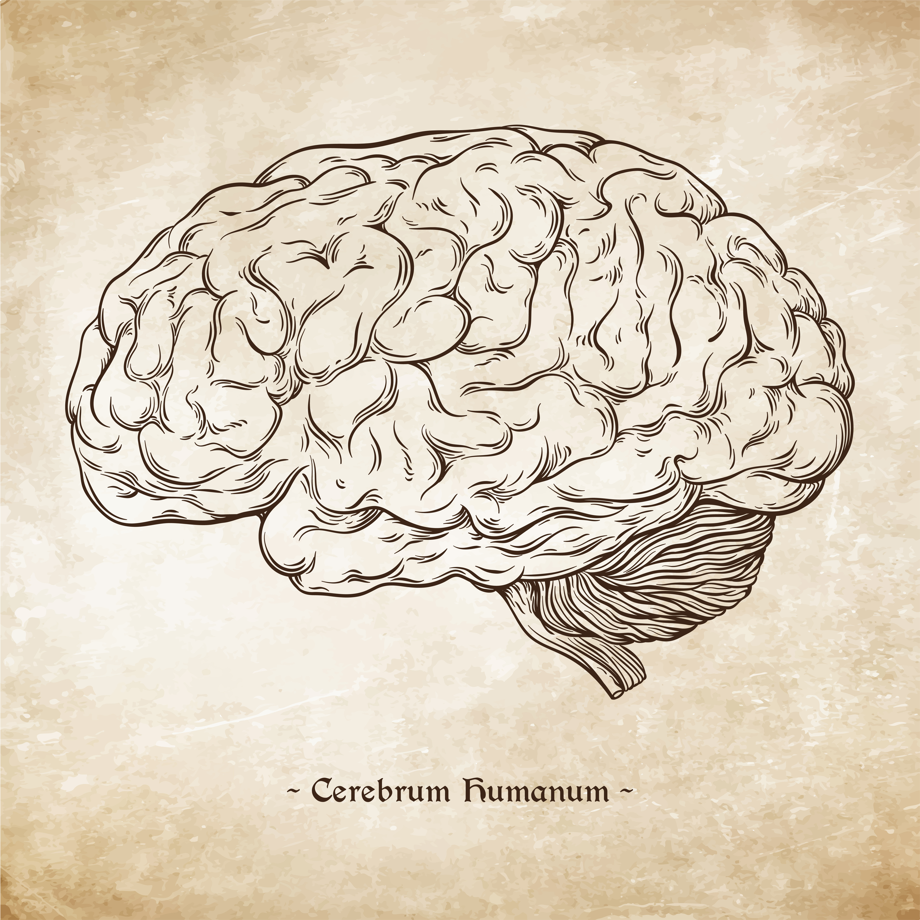 an essay on the human brain This is called the nervous system the nerves in the body don't just send messages from the brain to the organs, but also send messages from the eyes, ears, skin and other organs back to your brain.