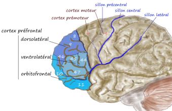 prefrontal1