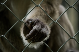 close up of a monkeys hand holding on to cage wire